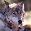 Skissors_Wolf Radio