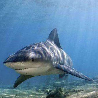 Shark's Broadcast