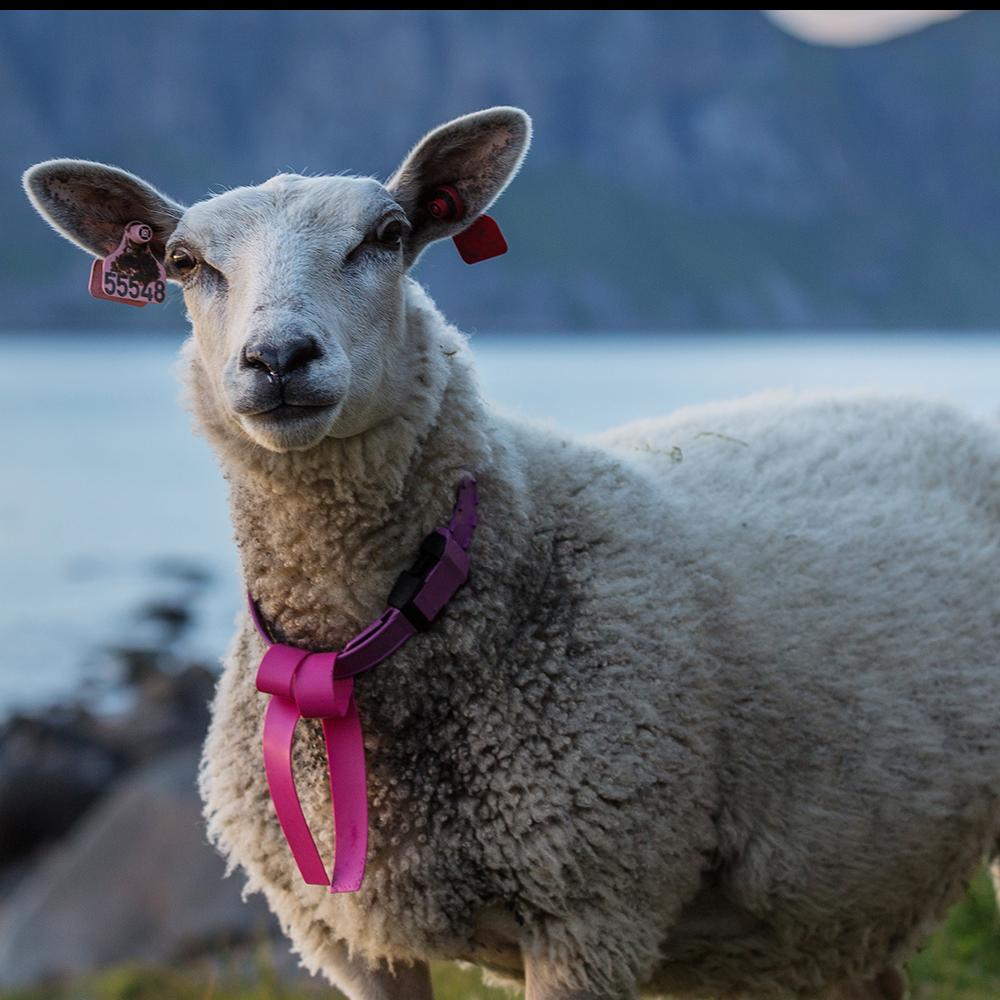 SheepLovess