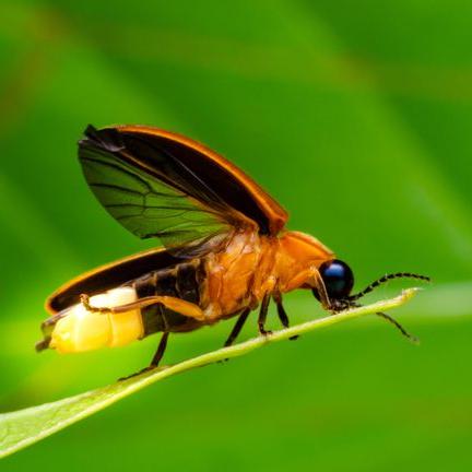 Firefly Buzz